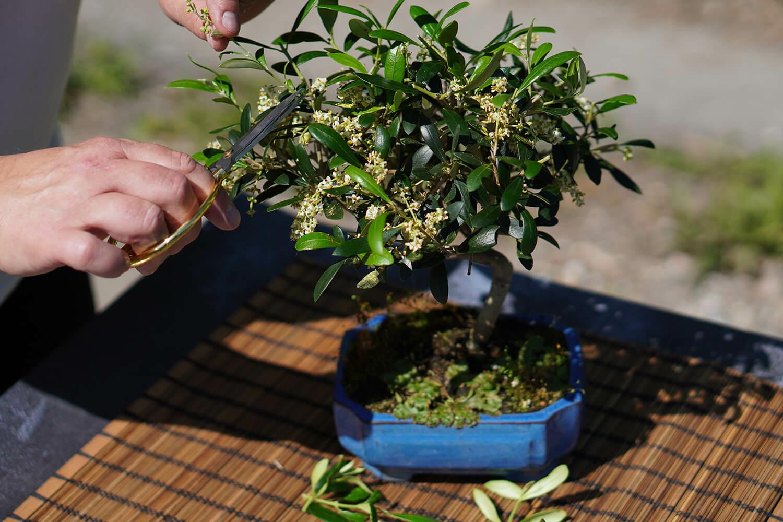 Olea (Olajfa) bonsai metszése - Bonsai Hungary