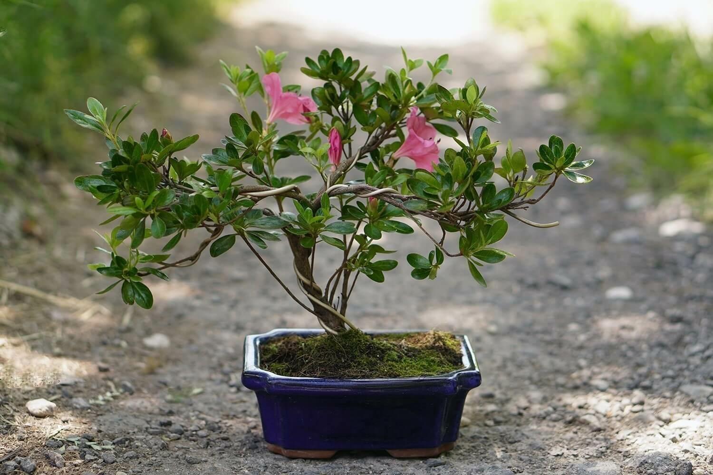 Rhododendron (Azálea) bonsai